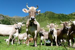 mucche-valserina